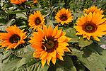 HELIANTHUS ANNUS 'SUNRICH ORANGE SUMMER', SUNFLOWER