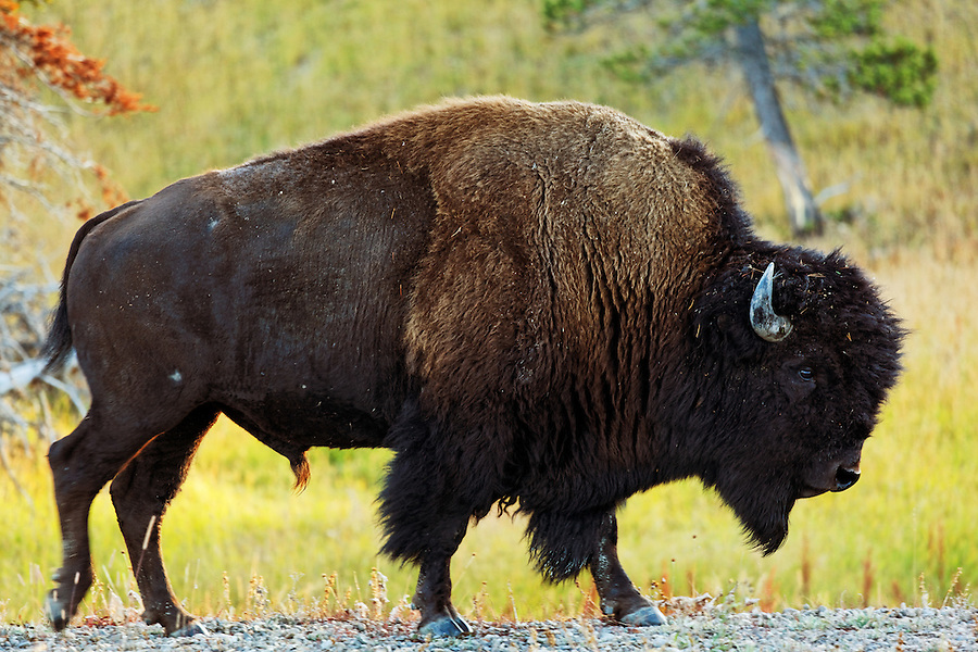 Male bison walking along gravel road shoulder with autumn foliage, Yellowstone National Park, Wyoming, USA