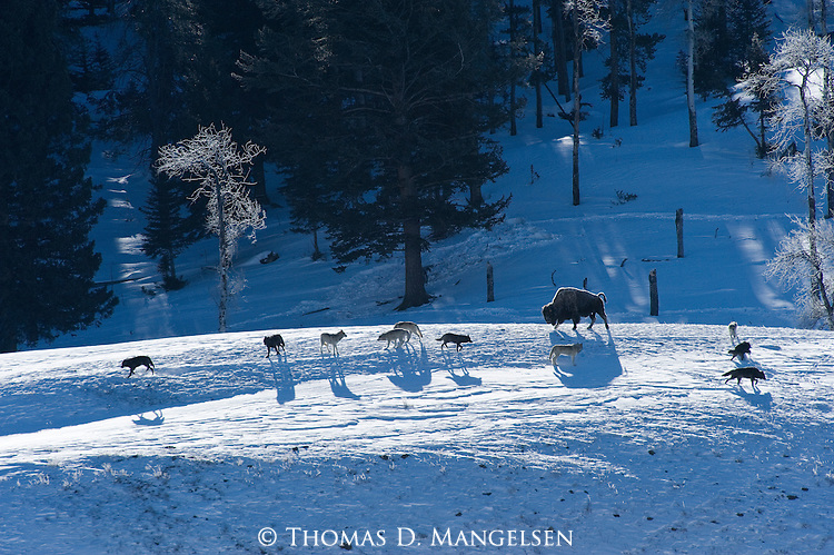 Druid wolf pack walk around a Bison on a snowy hillside in Yellowstone National Park, Wyoming.