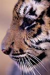 Baby Tiger cub at the West Coast Game Park  Bandon, Oregon State USA.