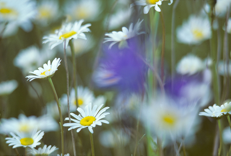 Wildflowers near Alpine, Oregon.