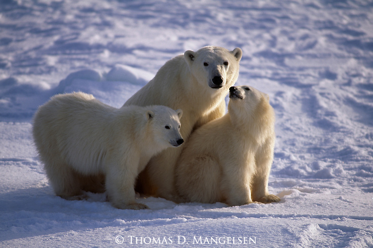 Polar bear sits in the snow with her two cubs at Hudson Bay in Manitoba, Canada.