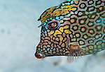 Closeup of colorful Honeycomb cowfish