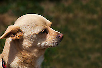 """Frankie's story is one of abuse, multiple abandonments and rescues.  He is now in a stable and loving home, and he is thriving.  His current 'mom' describes him, with a grin, as, """"Part Chihuahua, part Heinz 57""""."""