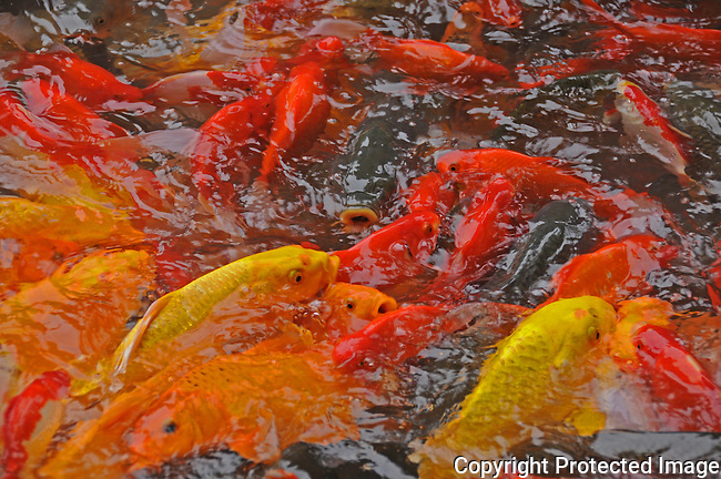 yellow and orange goldfish bubble at the surface of an ornamental pond outside of Silver Cave, near Yangchou, China