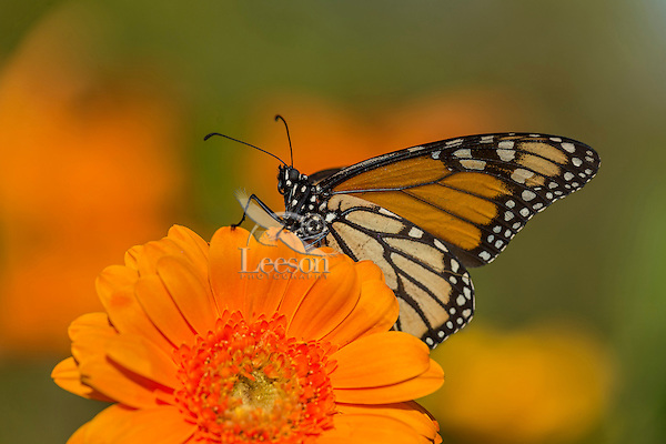 Western Monarch Butterfly (Danaus plexippus) on zinnia flower.  California.