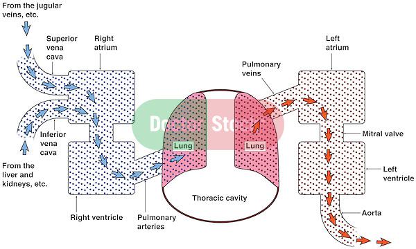 Diagram Of The Cardiopulmonary System Doctor Stock
