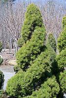 Picea glauca 'Conica' double spiral evergreen (Dwarf Alberta spruce double spiral)