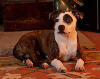Staffordshire Bull Terrier puppy, Alfie, at 18 weeks old.