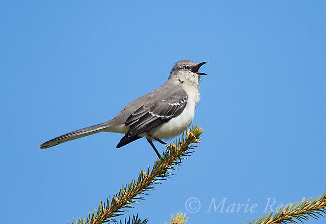 Northern Mockingbird (Mimus polyglottos), singing in spring, Interlaken, New York, USA