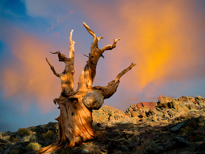 Bristlecone Pine tree. Ancient Bristlecone Pine Forest, Inyo county, California