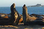 Elephant seals play at Ano Nuevo State Park