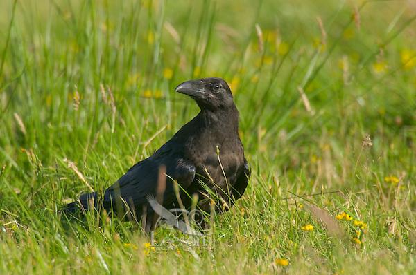 Common Raven (Corvus corax) in field.  Pacific Northwest.  Summer.