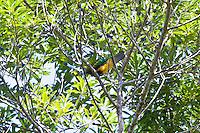 Wompoo Fruit-Dove, Daintree NP, Queensland, Australia