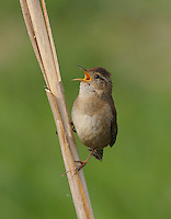 Male warsh wren proclaims his territory by singing from a cattail stem at the edge of a marsh.<br /> Ridgefield National Wildlife Refuge, Washington State<br /> 4/27/2009