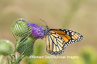 03536-047.10 Monarch (Danaus plexippus) on Pasture Thistle (Cirsium discolor) Prairie Ridge SNA,  Marion Co. IL