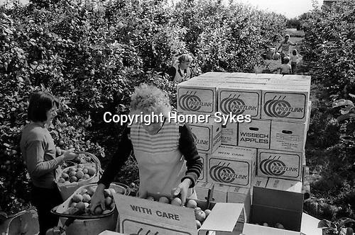 Casual seasonal fruit picking Wisbech Cambridgeshire UK. Apple picking. The fruit farm is, Ayers and Son, Common Lane, Elm, Wisbech.