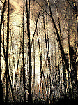 Bare trees in a forest