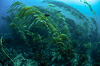 A kelp forest, composed primarily of giant kelp, Macrocystis pyrifera,, grows on a rocky bottom near the Santa Barbara Island, Channel Islands National Park, California, USA, Pacific Ocean