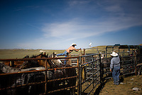 Contractors from Cattoor Livestock Roundup, a company based out of Nephi, Utah, work with officials from the Bureau of Indian Affairs and the Bureau of Land Management to drive wild horses into a netted chute.  They are penned at the end of the chute and subsequently sexed and sorted.  Young animals are sent for further testing before being put into the adoption circuit; older horses are fertility treated and re-released.  Principles of range management limit the number of animals that a given plot of land can support and, with annual population increases of about 14%, the BLM works to round up excess wild horses...Cattoor Livestock Roundup is: Dave Cattoor (owner), Sue Cattoor (owner's wife), Troy Cattoor (owner's son) Shayne Sampson (ee), Cameron Warner (ee), Dr. Nial Robinson (ee), Mayci and Trae Cline (pilot's children), Dee Cline (pilot)..BIA is: Preston Smith (Range Management Specialist), Terry Meyers (Range Technician)..Wyoming Livestock Agency Brand Inspectors: Angie Leonardi, Harley Big Knife..BLM is: Scott Fleur, Roy (name)