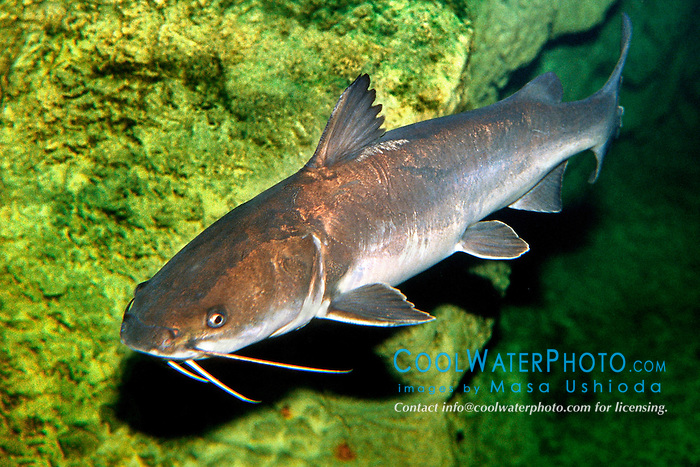 white catfish (c), .Ameiurus catus, .Florida.