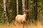 An Elk Buck during the fall rut in Saskatchewan, Canada.