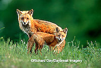 01871-01207 Red fox (Vulpes vulpes) adult with kit    IL