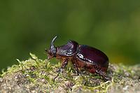 Nashornkäfer, Männchen, Nashorn-Käfer, Oryctes nasicornis, European rhinoceros beetle, Rhinoceros beetle, male