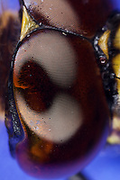 Auge, Komplexauge, Facettenauge einer Libelle, Blaugrüne Mosaikjungfer, Blaugrüne-Mosaikjungfer, Aeshna cyanea, Aeschna cyanea, blue-green darner, southern aeshna, southern hawker