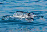 Humpback whale tail<br />