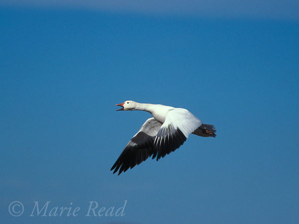 Snow Goose (Chen caerulescens) adult, white form, calling in flight, Bosque Del Apache National Wildlife Refuge, New Mexico, USA<br /> Slide # B24-5564