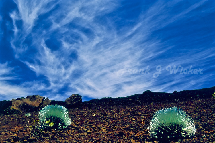 Young Silversword plants in the crater of HALEAKALA NATIONAL PARK on Maui in Hawaii
