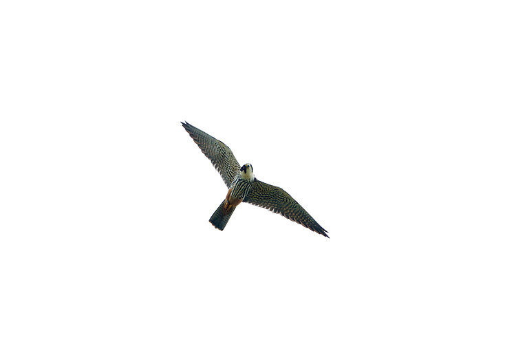 Hobby Falco subbuteo - Juvenile. W 70-85cm. Elegant falcon. Aerial mastery allows it to catch agile prey including Swifts, hirundines, and even dragonflies. In silhouette, has proportionately longer and narrower wings than Peregrine, and longer tail. Generally unobtrusive. Sexes are similar. Adult has blue-grey upperparts and pale, dark-streaked underparts. Has dark 'moustache', white cheeks and reddish orange 'trousers'. Juvenile is similar to adult but lacks reddish 'trousers' and underparts look buffish overall. Voice Utters a shrill kiu-kiu-kiu…in alarm. Status Scarce summer visitor; breeds mainly in S and SE England. Favours heathland and farmland with scattered woods. are favoured; on migration, a Hobby could turn up almost anywhere. Between 500 and 1,000 pairs are probably present in the region in the summer months.