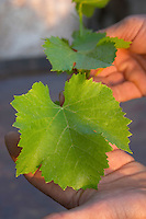 Vine leaf. Grenache. Caramany, Ariege, Roussillon, France