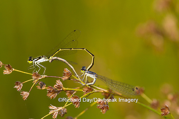 06326-00105 Fragile Forktail Damselfly (Ischnura posita) male and female mating in wetland, Marion Co., IL