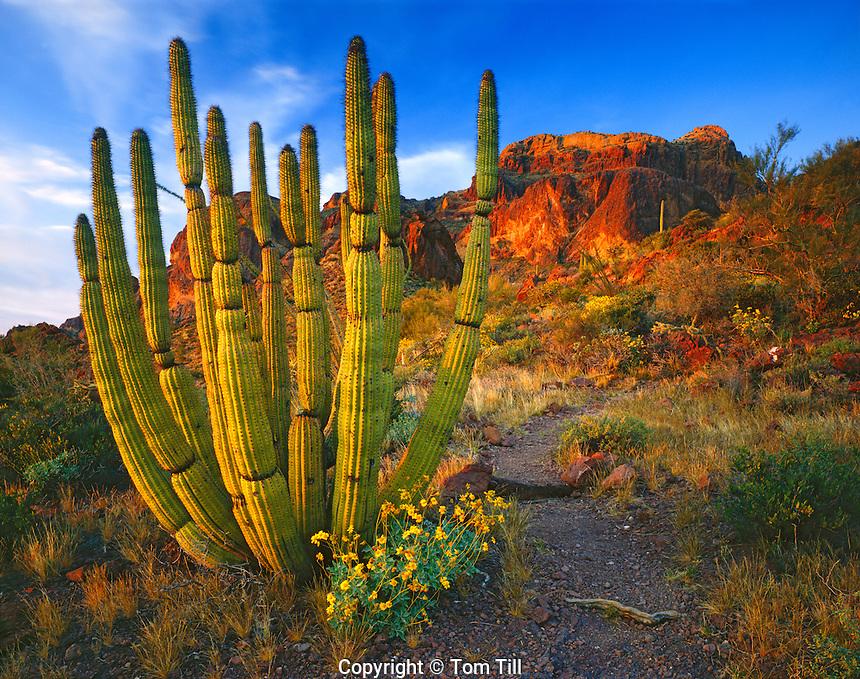 Organ Pipe Cactus at a Spring Sunset, Organ Pipe Cactus National Monument, Arizona