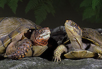 Fine friends-- Two Box turtles meet as the evening light falls