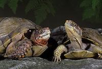 Fine friends-- Two Box turtles meet as the evening light falls