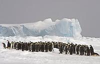 Emperor Penguin - Aptenodytes forsteri