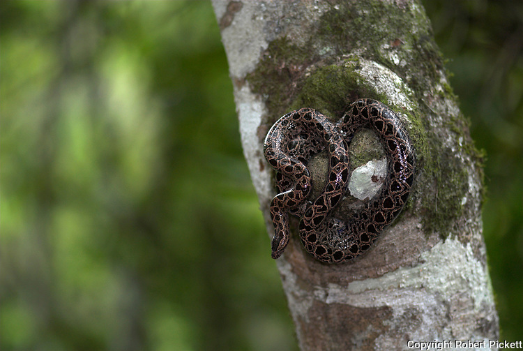 Panamanian Dwarf Boa Snake, Ungaliophis panamensis, Nicaragua, Costa Rica, Panama and northwestern Colombia, curled on tree