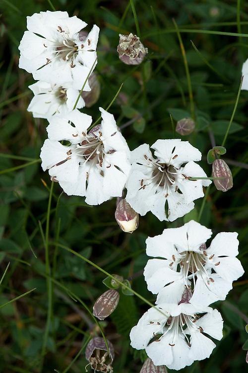 Sea campion (Silene uniflora), late April.