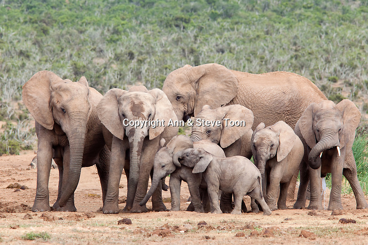 Elephant herd, Loxodonta africana, Addo national park, Eastern Cape, South Africa