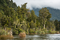 Lake Kaniere and native rainforest, South Westland, West Coast, New Zealand, NZ