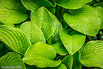 Hosta at the Norman J. Leventhal Park at PostOffice Square, Boston, Massachusetts, USA