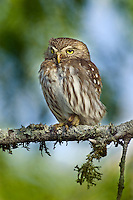 Ferruginous Pygmy-Owl on limb