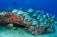 A school of Sri Lankan Sweetlips, Plectorhinchus sp., hovers in formation, accompanied by an Emperor Angelfish, Pomacanthus imperator. Campbell's Shoal, Andaman Islands, India, Andaman Sea