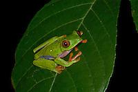 A Parachuting Red-eyed Leaf Frog, Agalychnis saltator, in Costa Rica