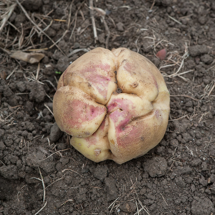 Growth cracks in a potato, early September. Sometimes known as Potato Elephant Hide.