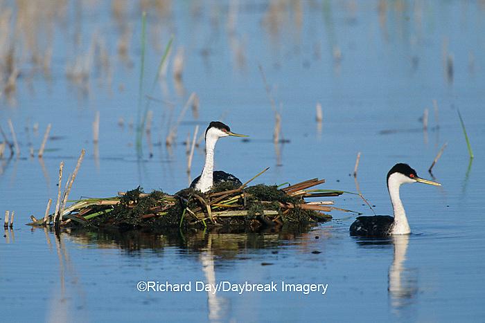 00606-00210  Western Grebes (Aechmophorus occidentalis) on nest, Waubay NWR Mgmt Area  Waubay  SD