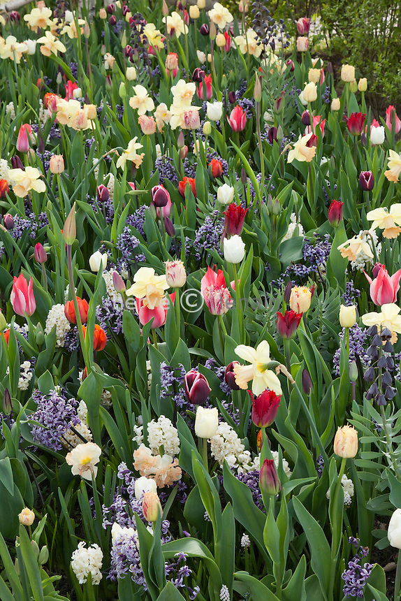 Hollande, région des champs de fleurs, Lisse, Keukenhof,.massif de plantes bulbeuses à floraison printannières sur le thème de la Russie avec, tulipe triumphe 'Hermitage' , 'Alexander Pushkin' , 'Siberia' & 'Moscow', tulipe greigii 'Czaar Peter', tulipe 'Valery Gergiev' & 'Yuri Dolgorukiy', narcisse 'Irina's Choice', jacinthe 'Anastasia', muscari ' Pink Sunrise', fritillaire de Perse 'Adiyaman' // Mix of tulips triumphe 'Hermitage' , 'Alexander Pushkin' , 'Siberia' & 'Moscow', tulips greigii 'Czaar Peter', tulips 'Valery Gergiev' & 'Yuri Dolgorukiy', narcissus 'Irina's Choice', hyacinth 'Anastasia', muscari ' Pink Sunrise', Fritillaria persica 'Adiyaman'